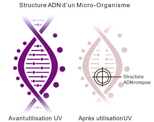 Structure ADN d'un Micro-Organisme
